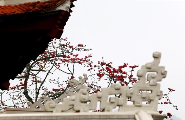 """Hoa gạo """"thắp lửa"""" khắp núi rừng Hương Sơn - 2"""