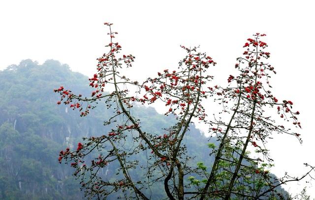 """Hoa gạo """"thắp lửa"""" khắp núi rừng Hương Sơn - 6"""