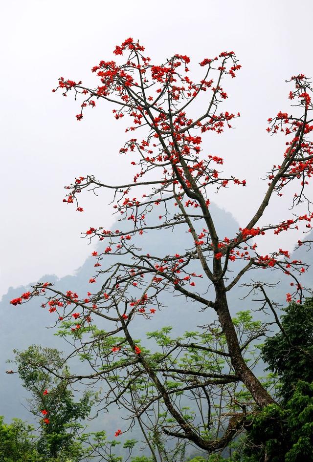 """Hoa gạo """"thắp lửa"""" khắp núi rừng Hương Sơn - 8"""
