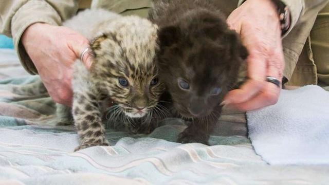 """Hai con báo đốm Amur """"siêu hiếm"""" vừa được sinh ra thành công tại Mỹ - 1"""