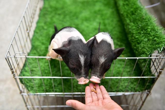 Lợn cảnh 2,5 triệu/con: Mốt thú cưng sang chảnh của quý cô Hà Thành - 7