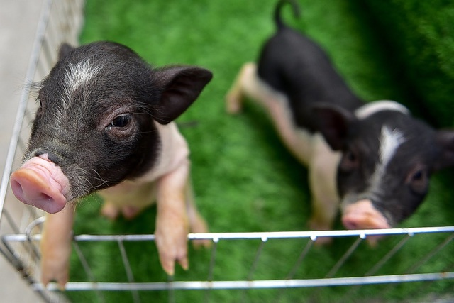 Lợn cảnh 2,5 triệu/con: Mốt thú cưng sang chảnh của quý cô Hà Thành - 2