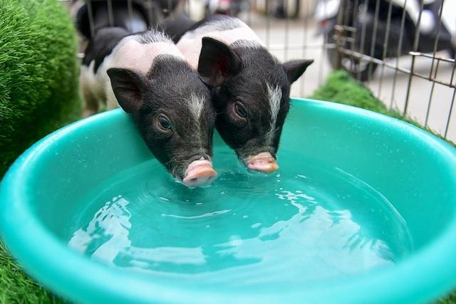 Lợn cảnh 2,5 triệu/con: Mốt thú cưng sang chảnh của quý cô Hà Thành - 3