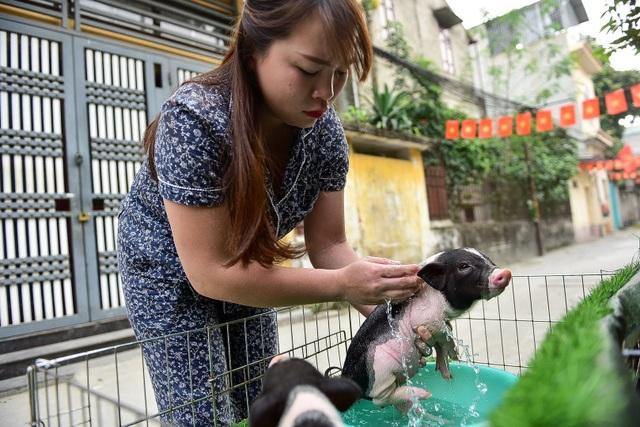 Lợn cảnh 2,5 triệu/con: Mốt thú cưng sang chảnh của quý cô Hà Thành - 4
