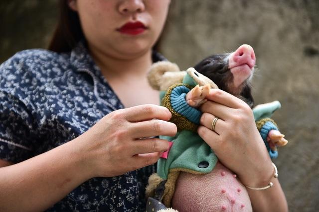 Lợn cảnh 2,5 triệu/con: Mốt thú cưng sang chảnh của quý cô Hà Thành - 9