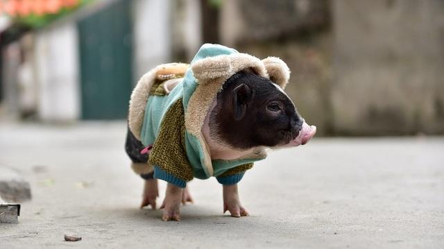 Lợn cảnh 2,5 triệu/con: Mốt thú cưng sang chảnh của quý cô Hà Thành - 10
