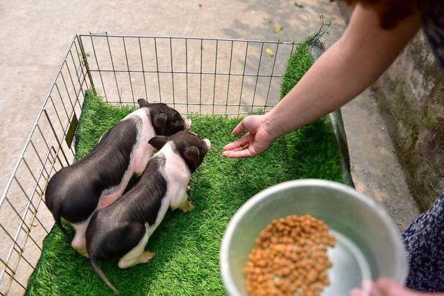 Lợn cảnh 2,5 triệu/con: Mốt thú cưng sang chảnh của quý cô Hà Thành - 6