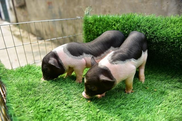 Lợn cảnh 2,5 triệu/con: Mốt thú cưng sang chảnh của quý cô Hà Thành - 1