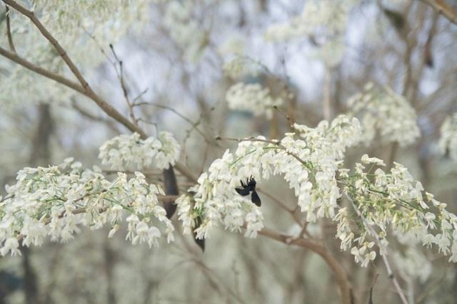 Mùa hoa sưa Hà Nội nở trắng trời níu chân người qua đường - 1