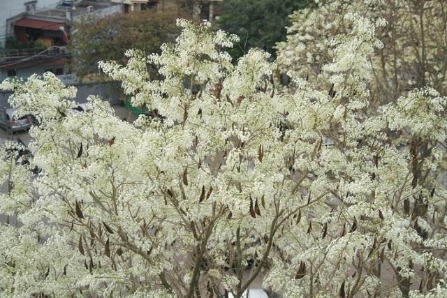 Mùa hoa sưa Hà Nội nở trắng trời níu chân người qua đường - 2