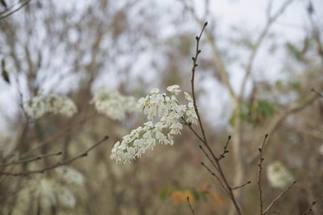 Mùa hoa sưa Hà Nội nở trắng trời níu chân người qua đường - 3