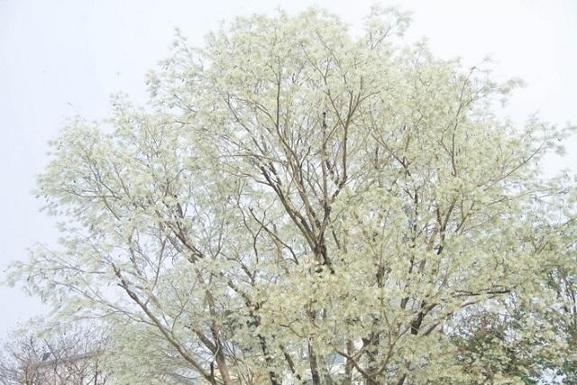 Mùa hoa sưa Hà Nội nở trắng trời níu chân người qua đường - 4