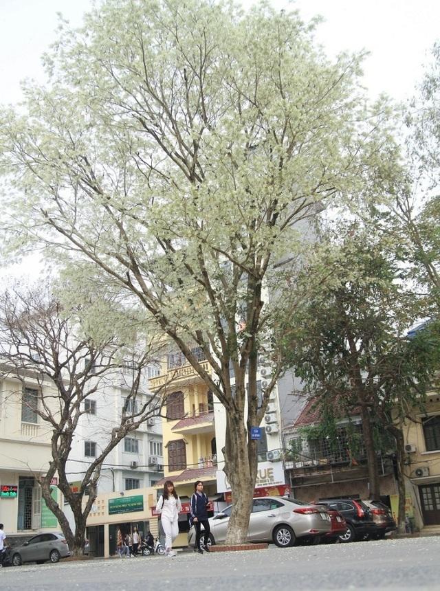Mùa hoa sưa Hà Nội nở trắng trời níu chân người qua đường - 5