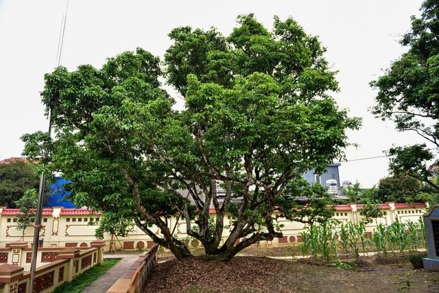 Bí ẩn cây vải tổ 200 năm được xác lập kỷ lục lâu đời nhất Việt Nam - 12