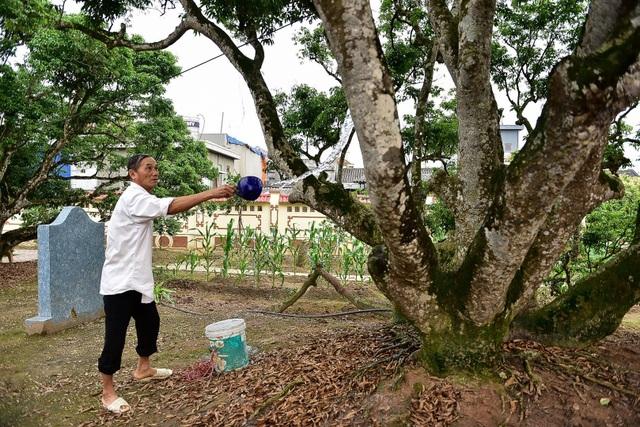 Bí ẩn cây vải tổ 200 năm được xác lập kỷ lục lâu đời nhất Việt Nam - 6