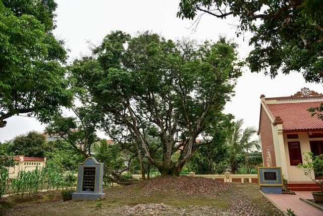 Bí ẩn cây vải tổ 200 năm được xác lập kỷ lục lâu đời nhất Việt Nam - 2