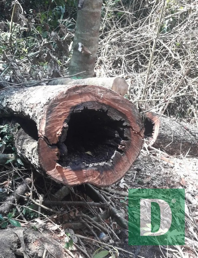 Rừng gỗ quý ở Phong Nha - Kẻ Bàng bị phá chỉ cách đồn biên phòng... 1km - 2