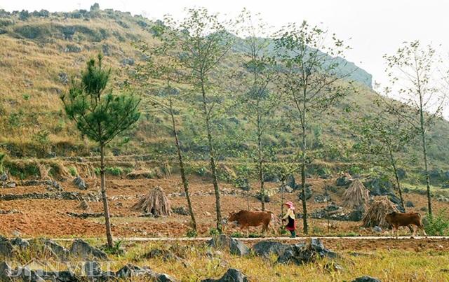 Ngắm hoa đào nở muộn tuyệt đẹp trên cao nguyên đá Đồng Văn - 11