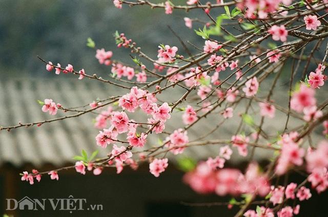 Ngắm hoa đào nở muộn tuyệt đẹp trên cao nguyên đá Đồng Văn - 2