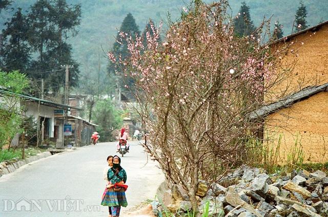Ngắm hoa đào nở muộn tuyệt đẹp trên cao nguyên đá Đồng Văn - 3