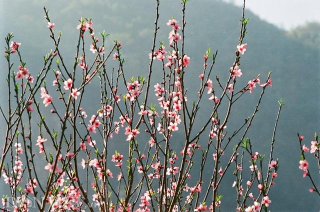 Ngắm hoa đào nở muộn tuyệt đẹp trên cao nguyên đá Đồng Văn - 4