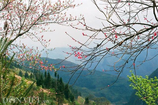 Ngắm hoa đào nở muộn tuyệt đẹp trên cao nguyên đá Đồng Văn - 5