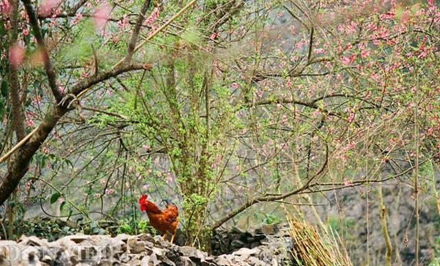 Ngắm hoa đào nở muộn tuyệt đẹp trên cao nguyên đá Đồng Văn - 6