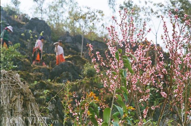 Ngắm hoa đào nở muộn tuyệt đẹp trên cao nguyên đá Đồng Văn - 7