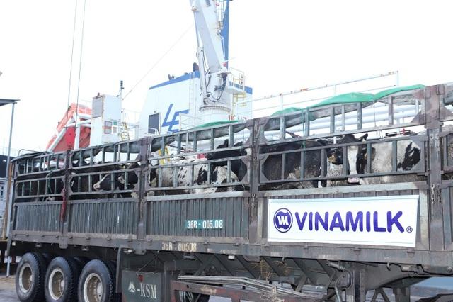 Vinamilk nhập thêm 1.600 bò sữa HF và A2 từ Mỹ - 2