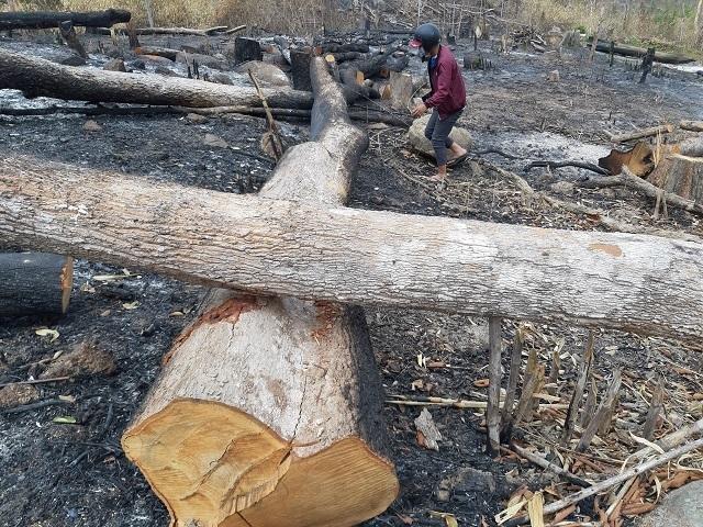 Hoang tàn cảnh tận thu gỗ, phá rừng làm rẫy ngay cách trạm quản lý bảo vệ rừng - 3