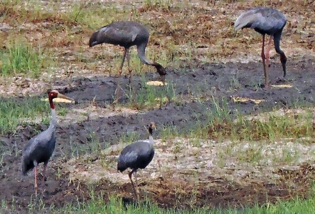 Đàn sếu đầu đỏ quý hiếm kéo về miền Tây trú ngụ - 3
