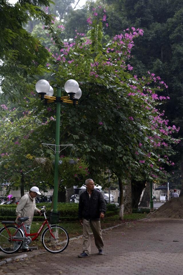 Hoa ban nở khắp phố Hà Nội - 11