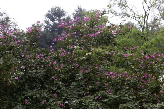 Hoa ban nở khắp phố Hà Nội - 12