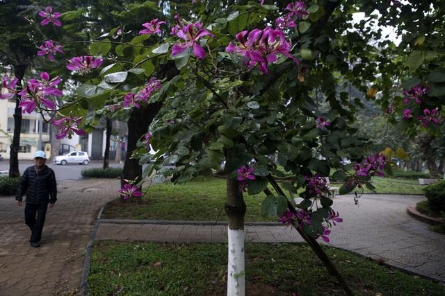 Hoa ban nở khắp phố Hà Nội - 13