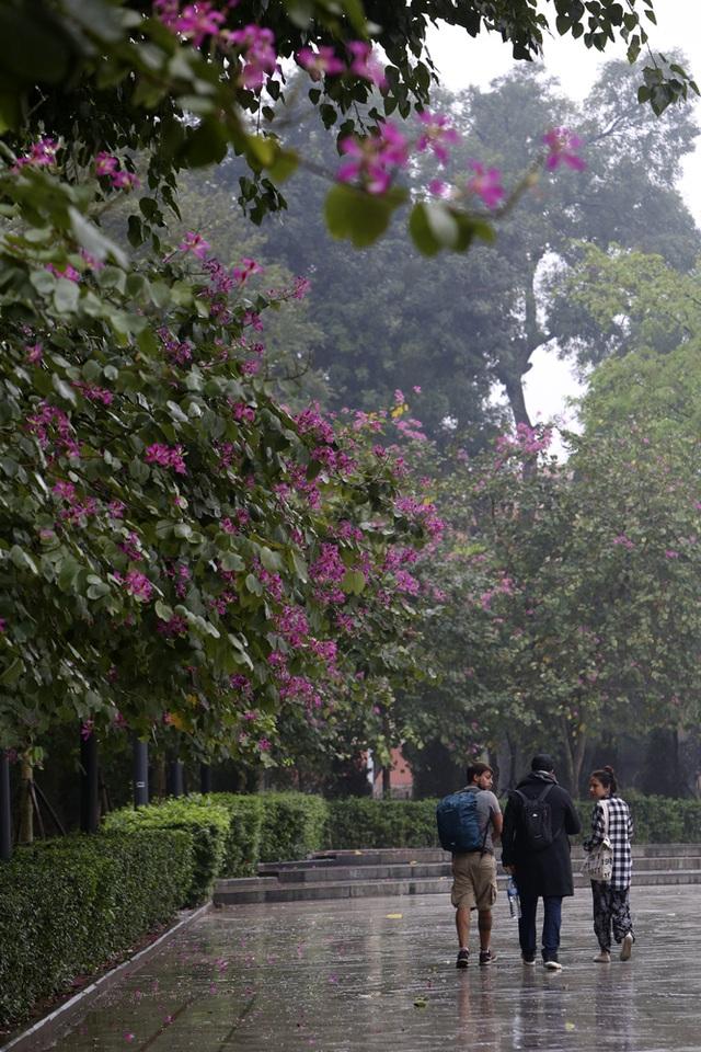 Hoa ban nở khắp phố Hà Nội - 14