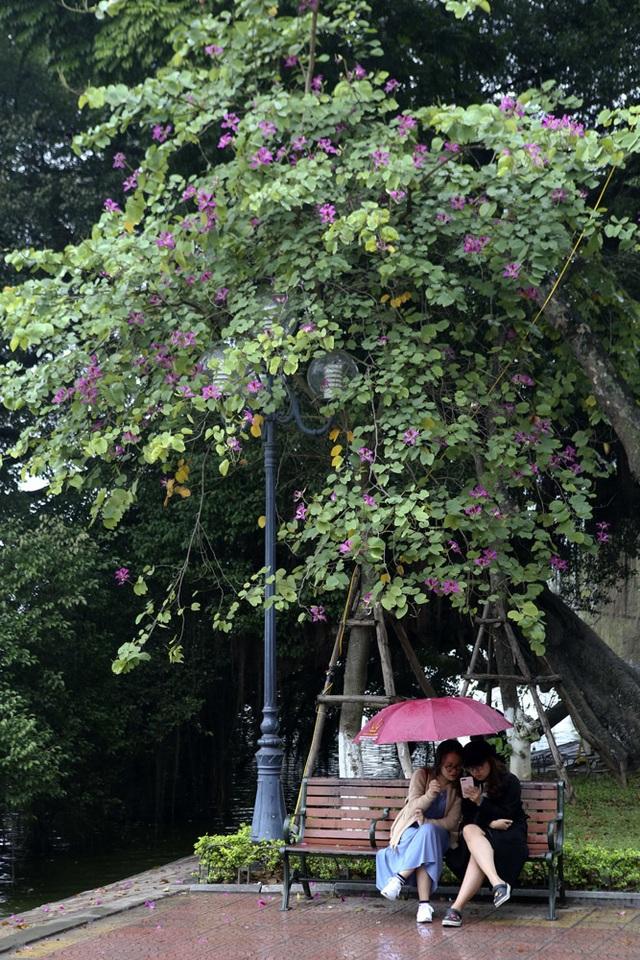 Hoa ban nở khắp phố Hà Nội - 4