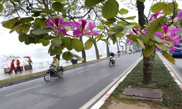 Hoa ban nở khắp phố Hà Nội - 5