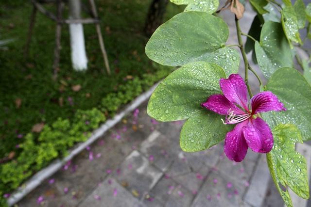 Hoa ban nở khắp phố Hà Nội - 7