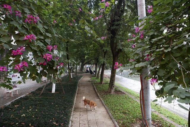 Hoa ban nở khắp phố Hà Nội - 9