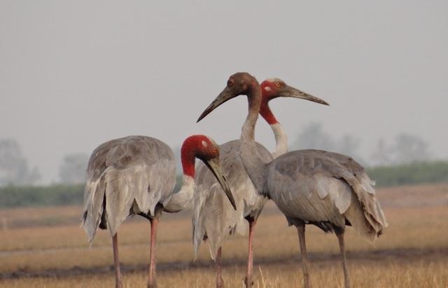 Đàn sếu đầu đỏ quý hiếm kéo về miền Tây trú ngụ - 10