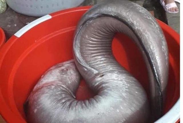 """Kỳ lạ lươn """"khổng lồ"""" dài gần mét, cá lạ nặng một tạ xôn xao dư luận  - 11"""