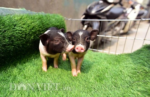 Ngắm lợn mini tiền triệu giới trẻ Hà thành săn lùng làm thú cưng - 1