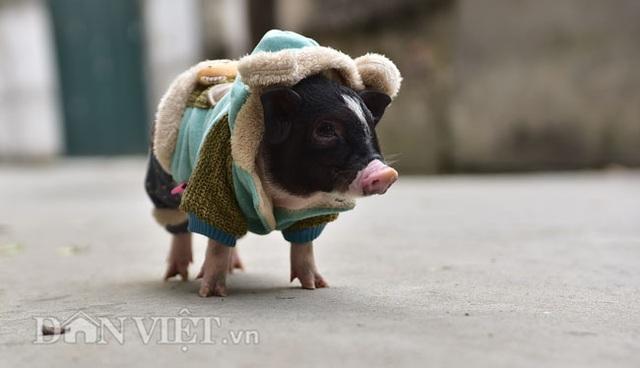 Ngắm lợn mini tiền triệu giới trẻ Hà thành săn lùng làm thú cưng - 10