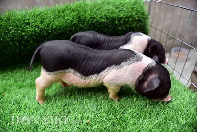 Ngắm lợn mini tiền triệu giới trẻ Hà thành săn lùng làm thú cưng - 2
