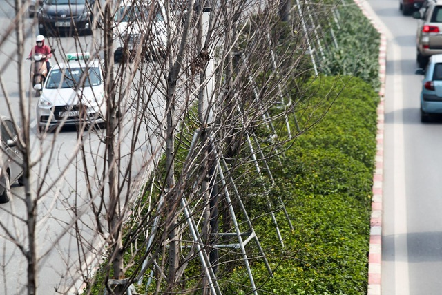 Hàng cây phong lá đỏ thay lá, ngả màu sang đen giữa phố Hà Nội - 8