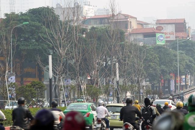 Hàng cây phong lá đỏ thay lá, ngả màu sang đen giữa phố Hà Nội - 12