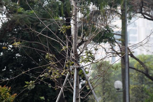 Hàng cây phong lá đỏ thay lá, ngả màu sang đen giữa phố Hà Nội - 6