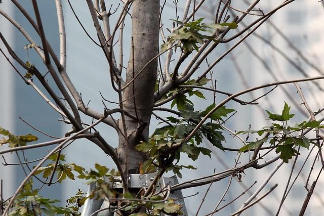 Hàng cây phong lá đỏ thay lá, ngả màu sang đen giữa phố Hà Nội - 7