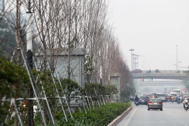 Hàng cây phong lá đỏ thay lá, ngả màu sang đen giữa phố Hà Nội - 1