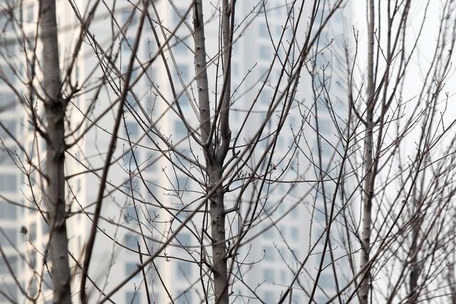 Hàng cây phong lá đỏ thay lá, ngả màu sang đen giữa phố Hà Nội - 4